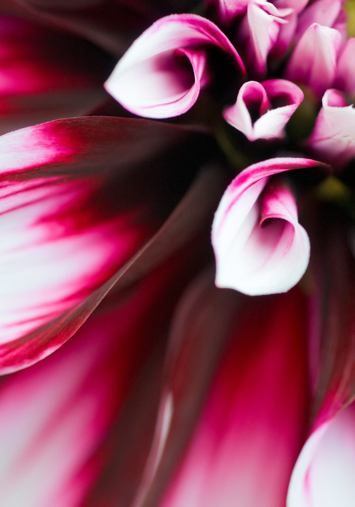 Best. Nr. Blütenpracht13 | Dahlie