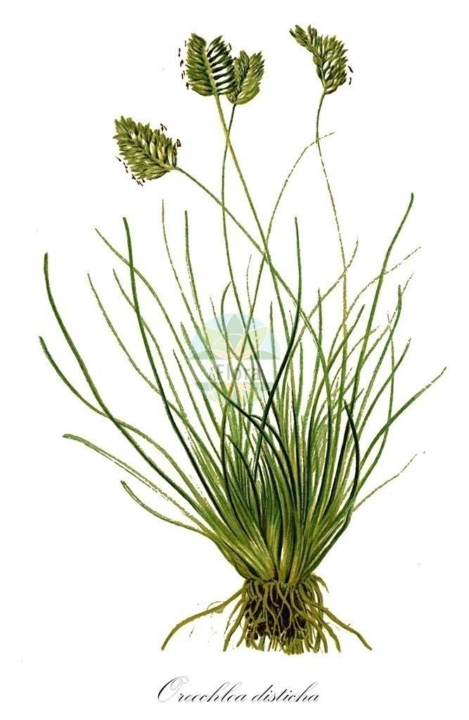 Historical drawing of Oreochloa disticha (Alpine Oreochloa)   Historical drawing of Oreochloa disticha (Alpine Oreochloa) showing leaf, flower, fruit, seed