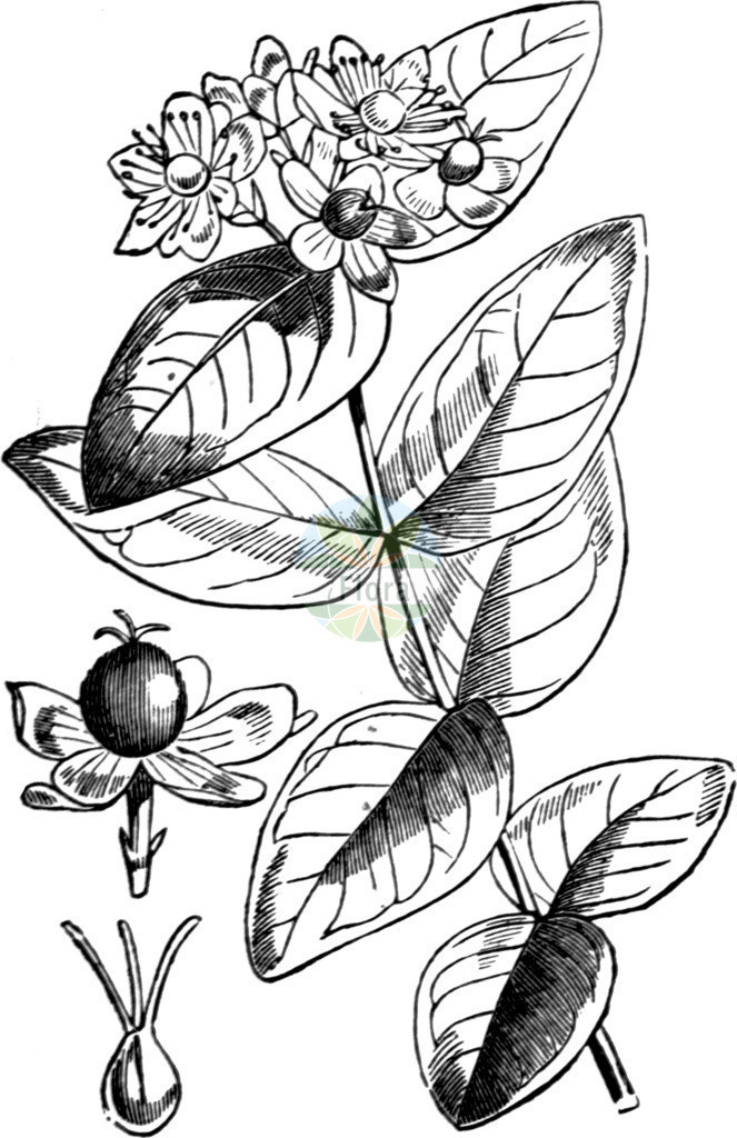Hypericum androsaemum | Historische Abbildung von Hypericum androsaemum. Das Bild zeigt Blatt, Bluete, Frucht und Same. ---- Historical Drawing of Hypericum androsaemum.The image is showing leaf, flower, fruit and seed.