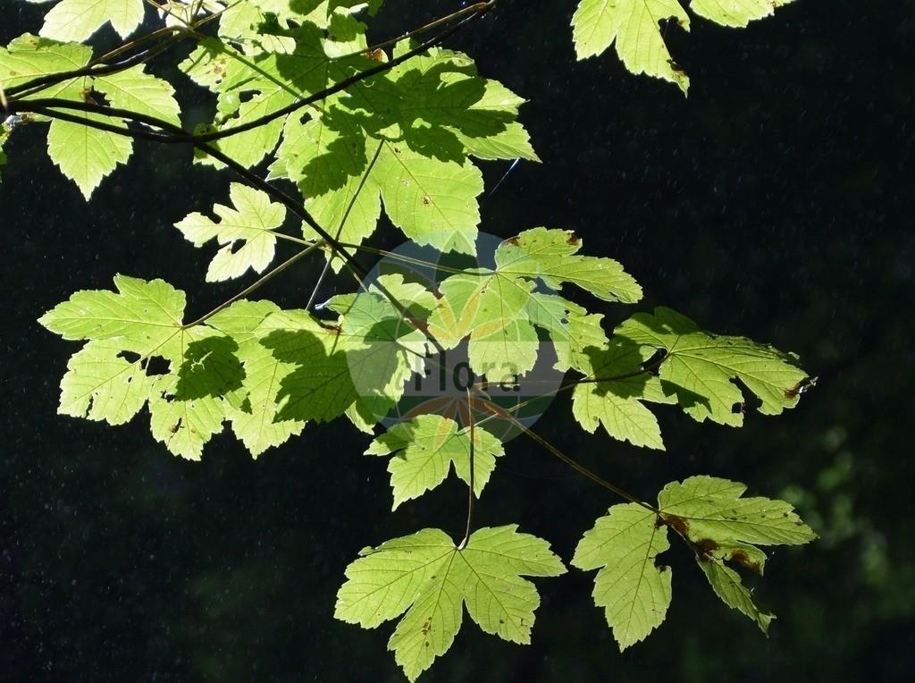 Acer pseudoplatanus (Berg-Ahorn - Sycamore) | Foto von Acer pseudoplatanus (Berg-Ahorn - Sycamore). Das Foto wurde in Stans, Tirol, Österreich, Alpen aufgenommen. ---- Photo of Acer pseudoplatanus (Berg-Ahorn - Sycamore).The picture was taken in Stans, Tyrol, Austria, Alps.