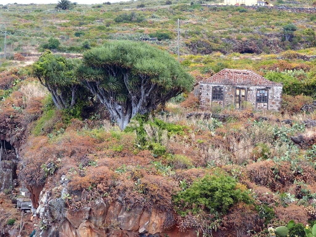 P5286141 | Altes Haus und noch ältere Drachenbäume.