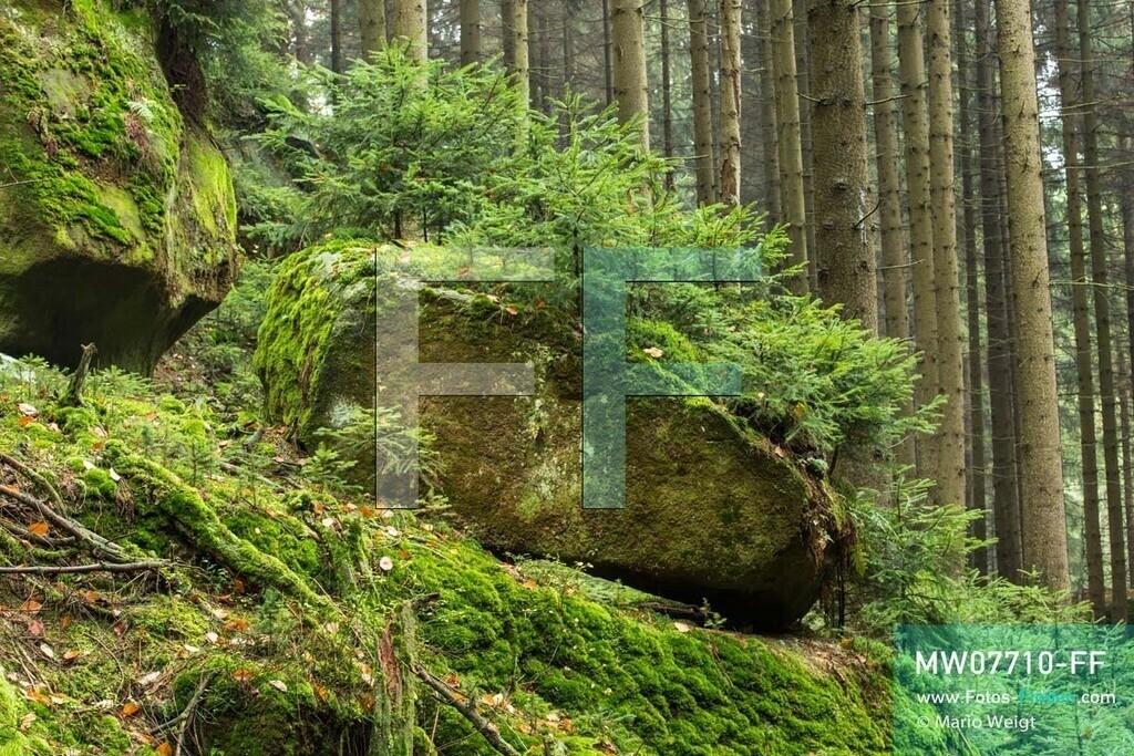 MW07710-FF | Deutschland | Sachsen | Sächsische Schweiz | Bemosste Felsen mit kleinen Fichten in der Eulentilke, eine Schlucht mit Wanderweg im Elbsandsteingebirge.   ** Feindaten bitte anfragen bei Mario Weigt Photography, info@asia-stories.com **