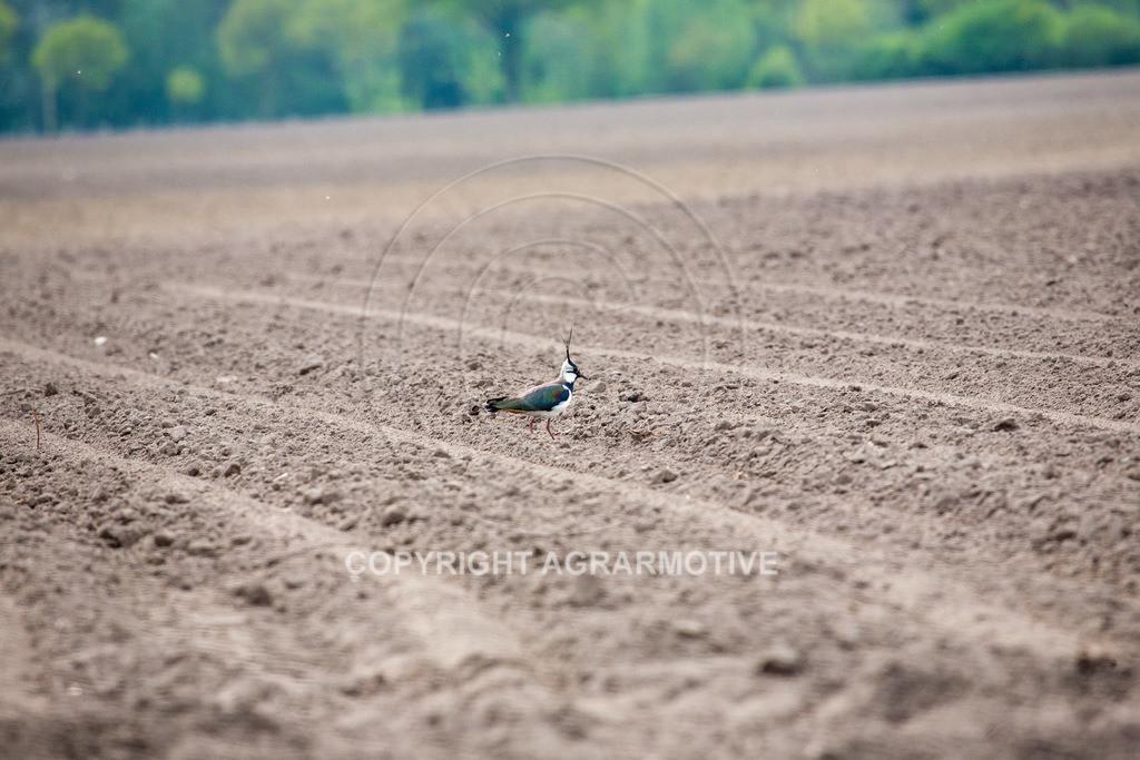 20100429-IMG_5944 | Wildtier Vogel