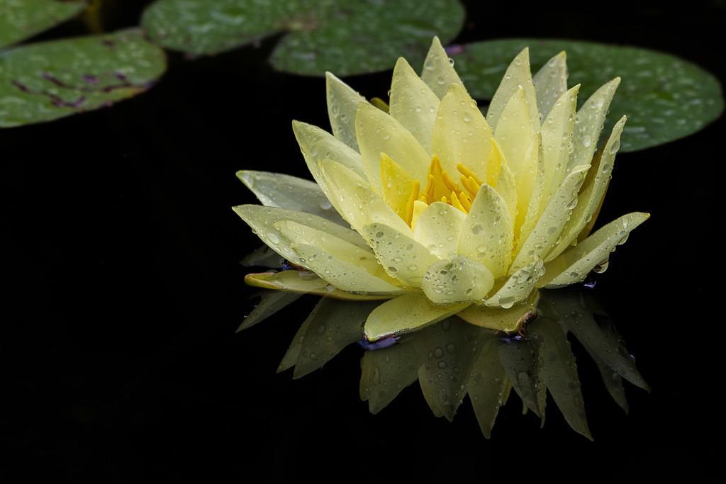 Seerose | Blumenmotiv
