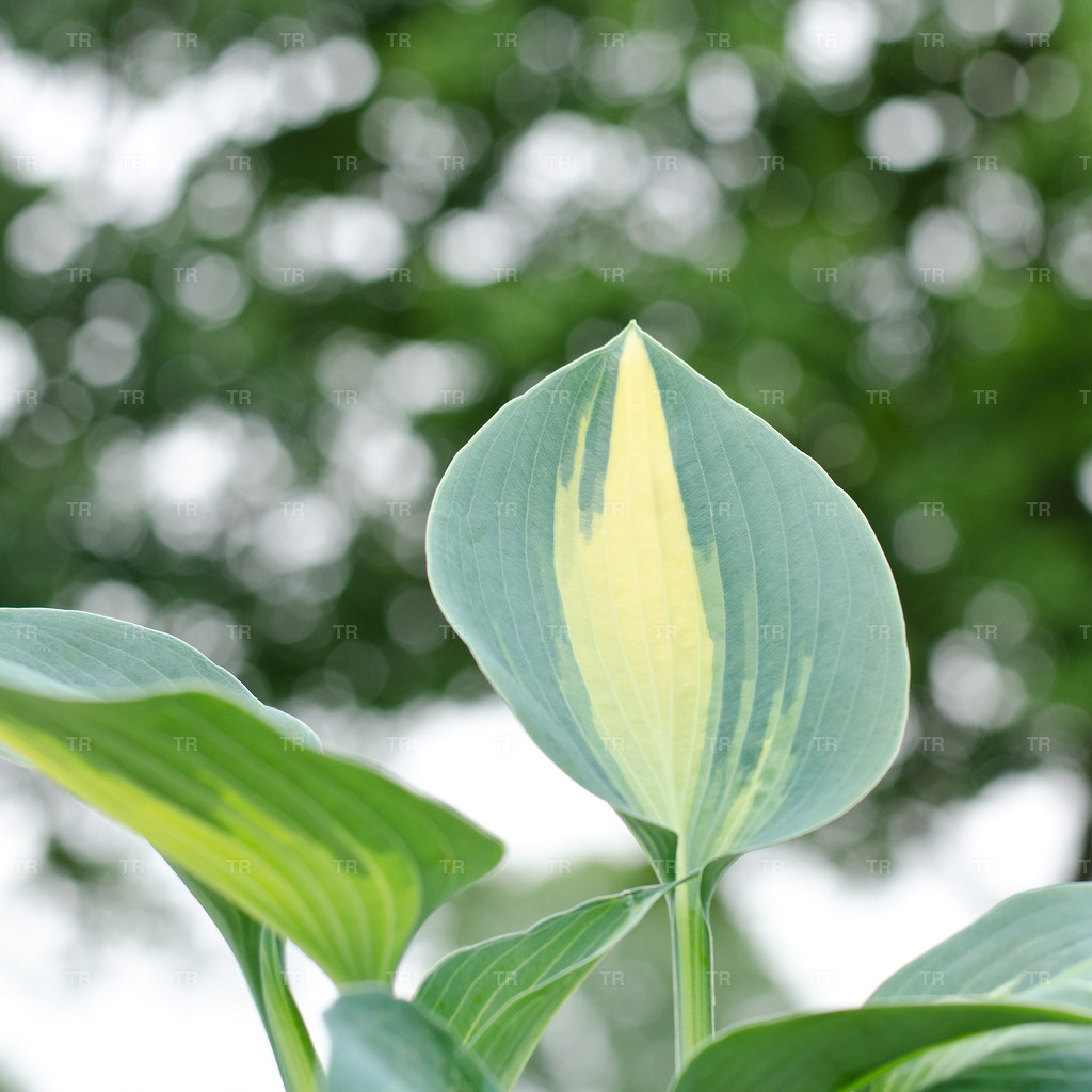 Hosta 'Grand Marquee' ® - Funkie