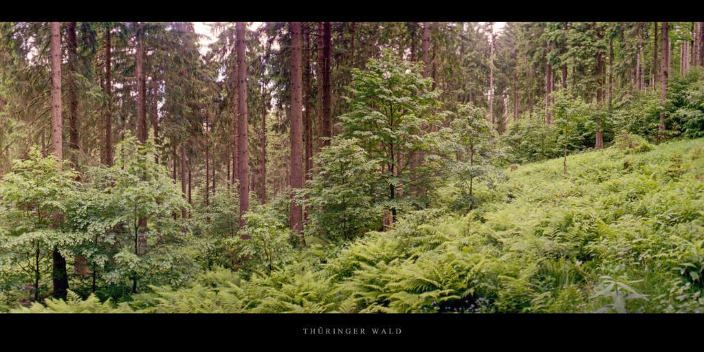 Thüringer Wald   Lichtung mit Farnen im Fichtenwald Thüringer Wald