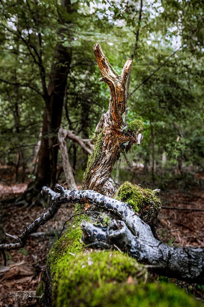 morbide Schönheit   im Käfertaler Wald, Mannheim