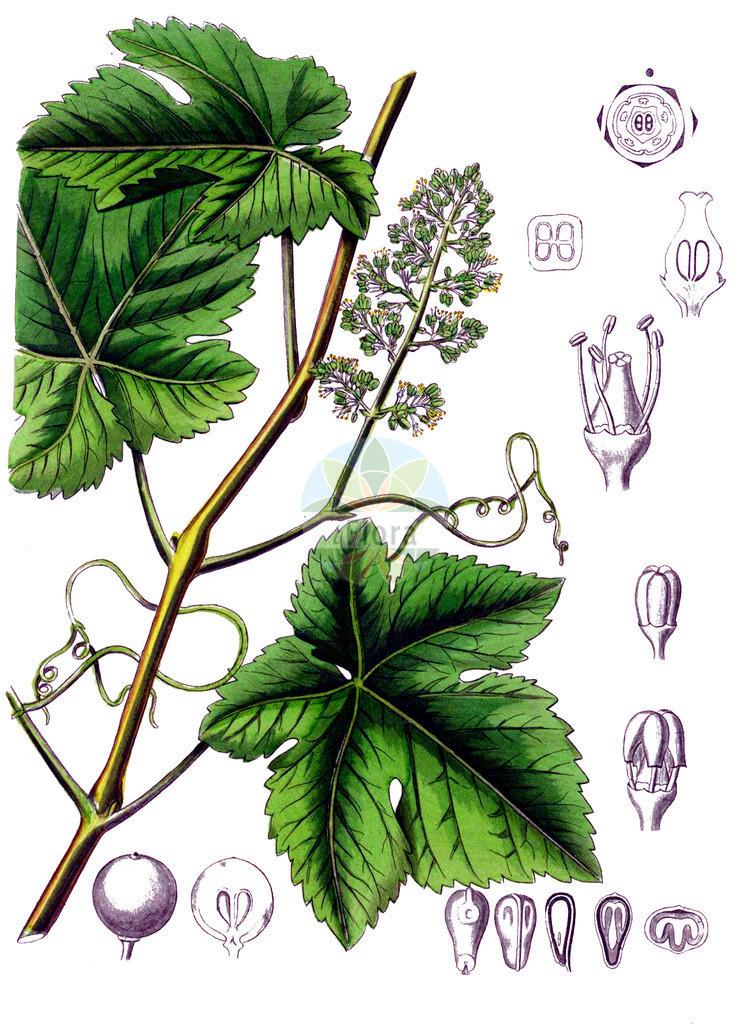 Vitis vinifera (Weinrebe - Grape-vine) | Historische Abbildung von Vitis vinifera (Weinrebe - Grape-vine). Das Bild zeigt Blatt, Bluete, Frucht und Same. ---- Historical Drawing of Vitis vinifera (Weinrebe - Grape-vine).The image is showing leaf, flower, fruit and seed.