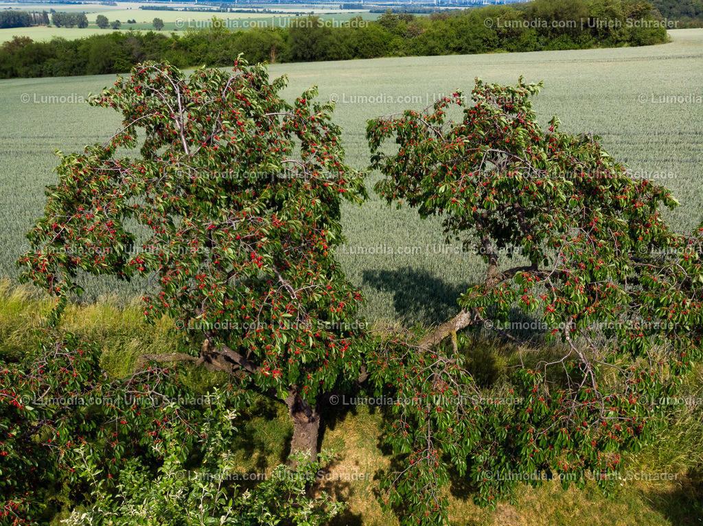 10049-51212 - Kirschbäume