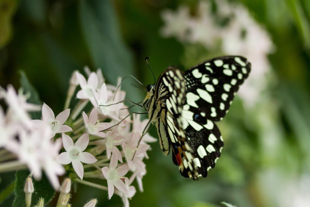 Ein halt auf der Blume | Sogar wenn er verfolgt wird, ist der Schmetterling niemals in Eile.   Martina Konczyk