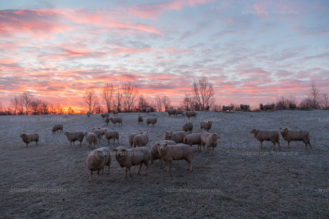 Winterschafe | Schafe auf dem verschneiten Deich