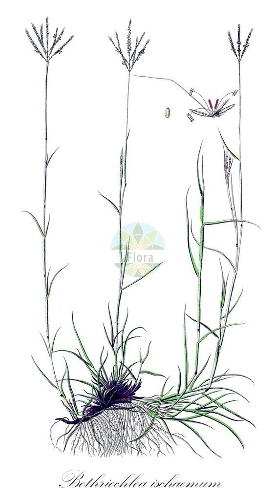 Historical drawing of Bothriochloa ischaemum (Yellow Bluestem) | Historical drawing of Bothriochloa ischaemum (Yellow Bluestem) showing leaf, flower, fruit, seed