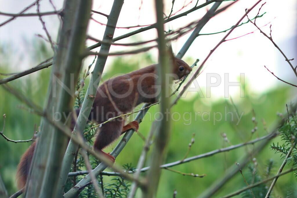 Eichhörnchen  | Ein Eichhörnchen mit einem Ast für das neue Nest.