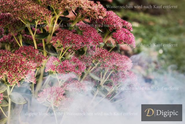 Fette Henne 1-Vorschaubild | Fette Henne mit Rauch
