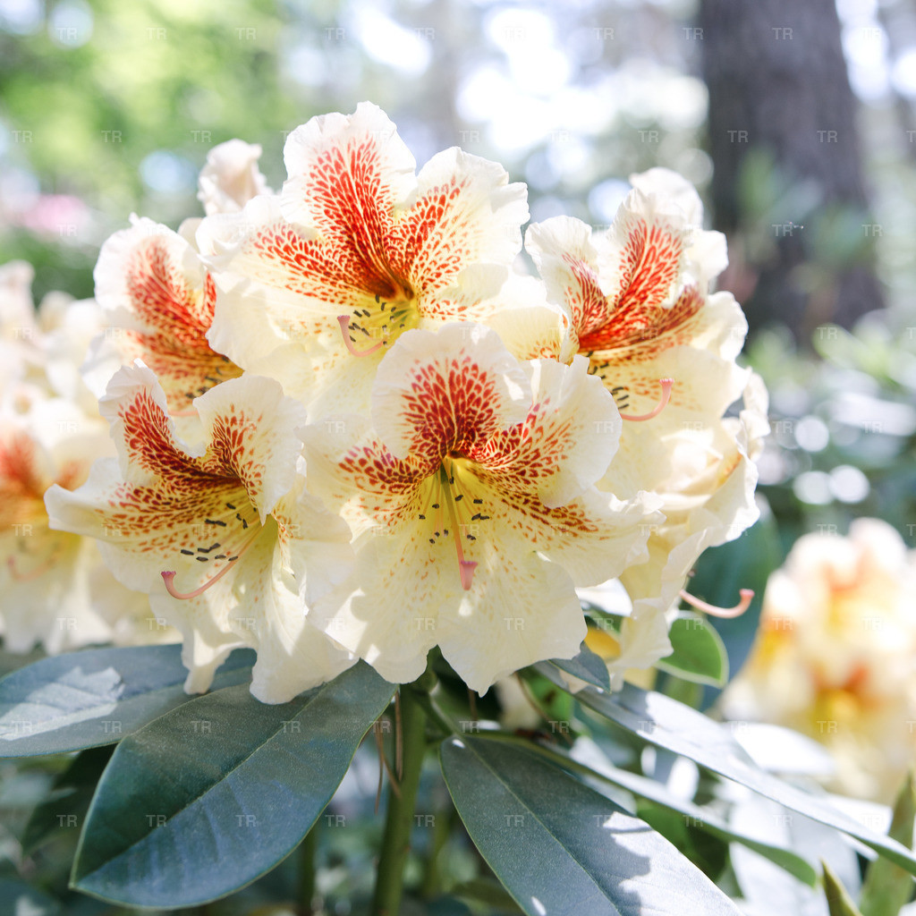 Rhododendron 'Peggy'