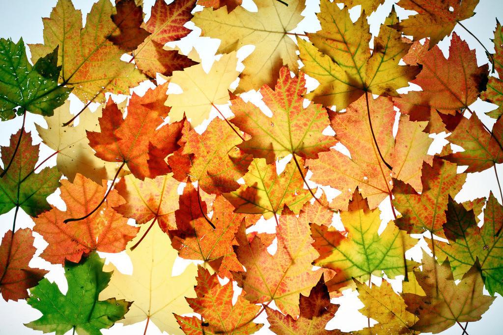 JT-120220-017 | Blätter des Silber-Ahorn Baum,(Acer saccharinum) herbstliche Färbungen,