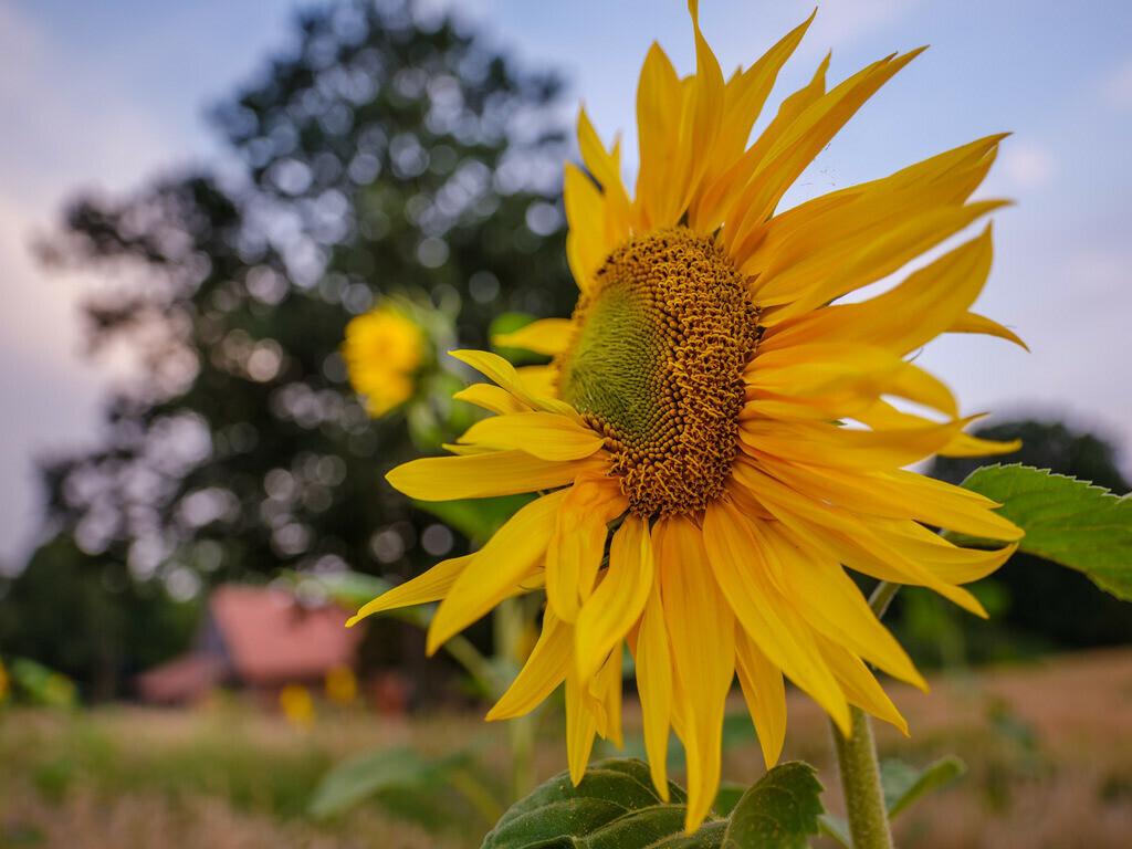 Sonnenblume   Sonnenblume auf einem Feld zwischen der Herforder Straße und dem Bahndamm am Meyerwald.
