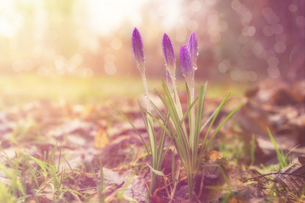 Krokusse | Blumenmotiv