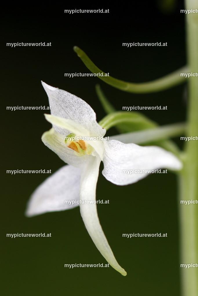 Weiße Waldhyazinthe-010