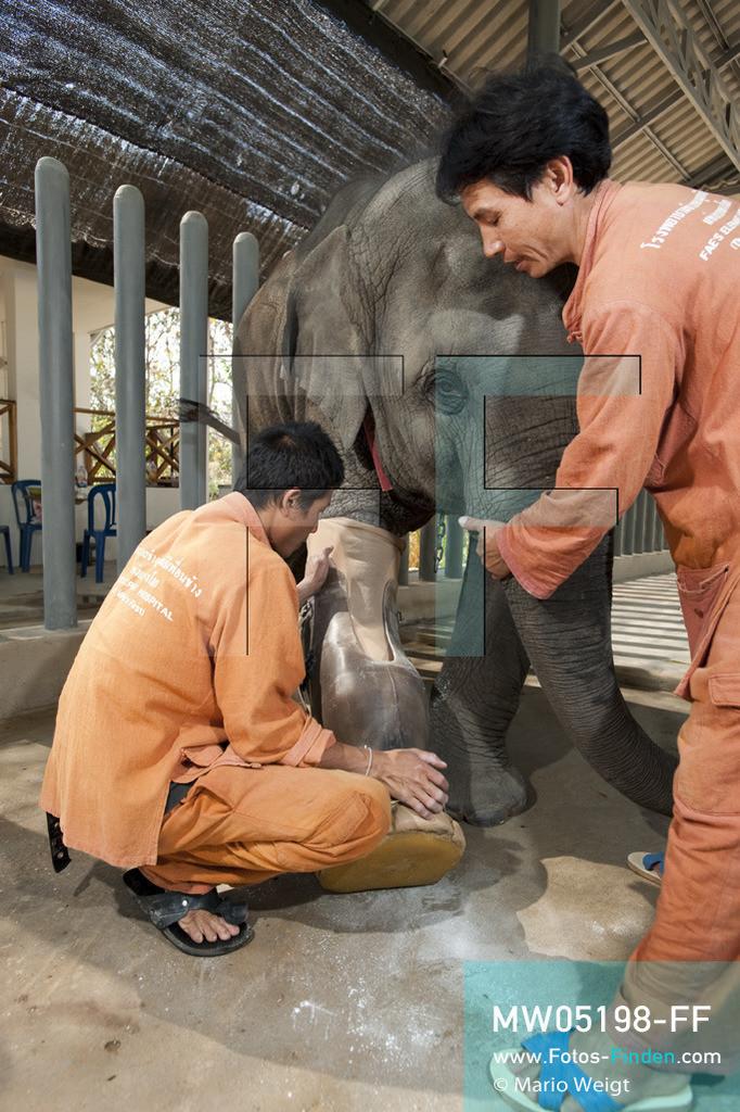 MW05198-FF   Thailand   Lampang   Reportage: Krankenhaus für Elefanten   Tierpfleger Somchai und Paradee legen dem vierjährigen Elefantenbaby Mosha die Beinprothese an.  ** Feindaten bitte anfragen bei Mario Weigt Photography, info@asia-stories.com **