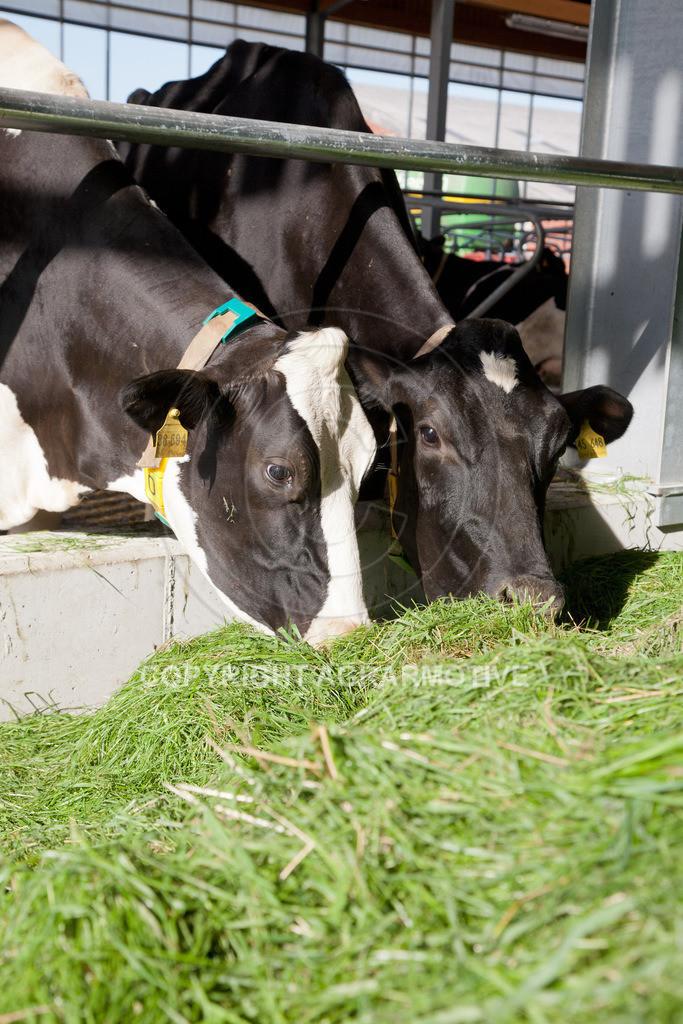 20110627-IMG_2989 | Milchkühe im Boxenlaufstall