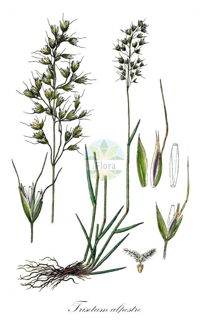 Historical drawing of Trisetum alpestre (Oatgrass)   Historical drawing of Trisetum alpestre (Oatgrass) showing leaf, flower, fruit, seed