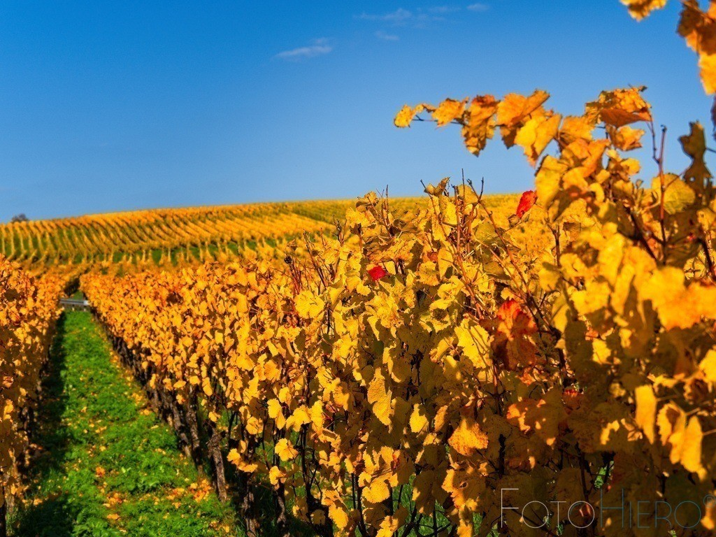 20201031_TH310428 | Herbstliche Weinreben