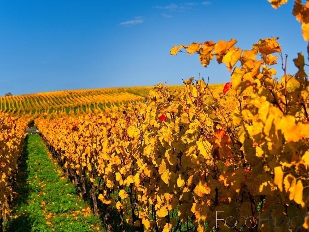 20201031_TH310428   Herbstliche Weinreben