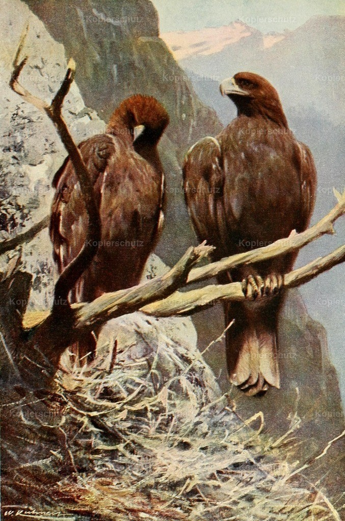 Kuhnert_ F.W. (1865-1926) - Wild Life of the World 1916 - Golden Eagle