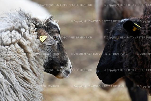Schafe auf der Streuobstwiese - copyright by HEN-FOTO   Schafe auf der Streuobstwiese Darmstadt-Eberstadt - copyright by HEN-FOTO Peter Henrich
