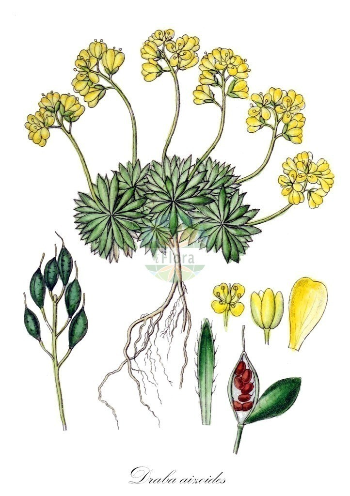 Historical drawing of Draba aizoides (Yellow Whitlowgrass) | Historical drawing of Draba aizoides (Yellow Whitlowgrass) showing leaf, flower, fruit, seed