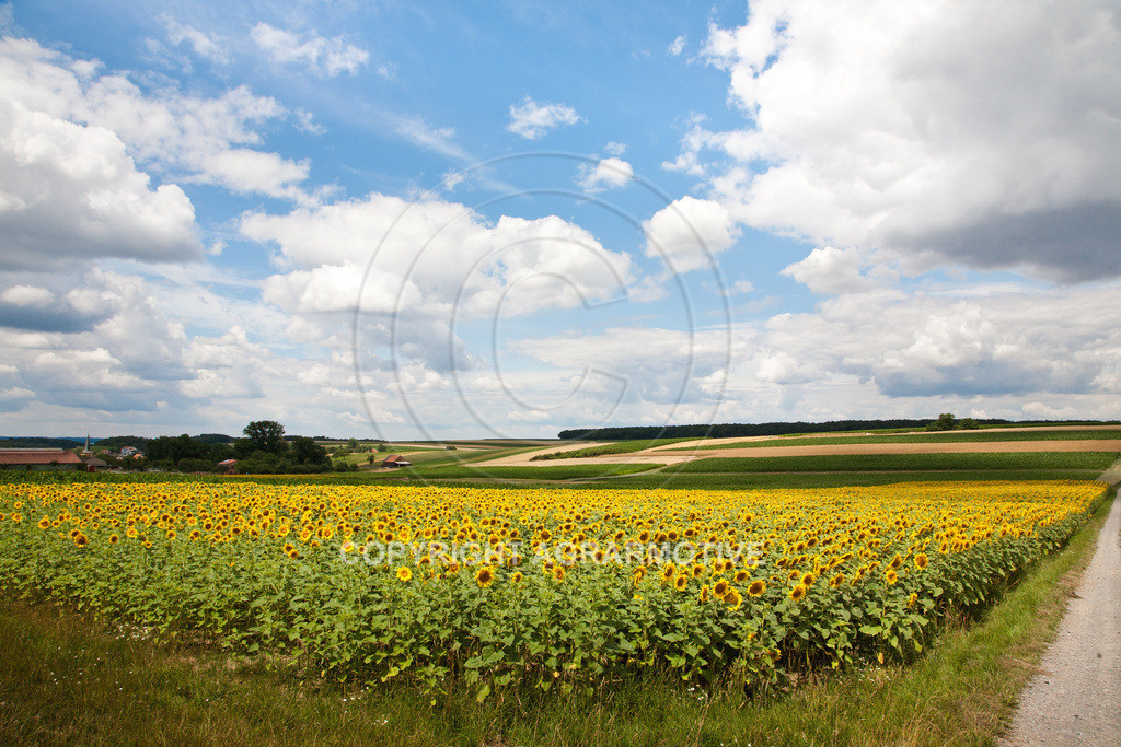 20090711-IMG_3686 | blühende Sonnenblumen im Sommer - AGRARMOTIVE Bilder aus der Landwirtschaft
