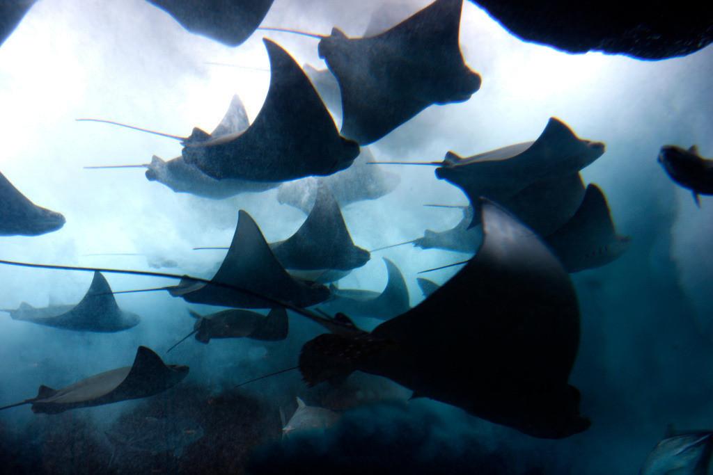 Dubai Aquarium und Unterwasser Zoo | Stachelrochen in einem Aquarium,