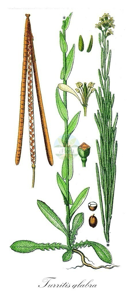 Historical drawing of Turritis glabra (Tower Mustard)   Historical drawing of Turritis glabra (Tower Mustard) showing leaf, flower, fruit, seed