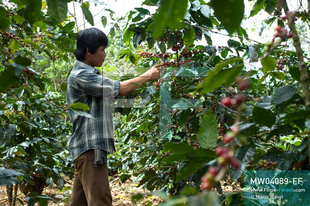 MW04089-FF | Laos | Paksong | Reportage: Kaffeeproduktion in Laos | Kaffeebauer Thao Khamkong in seiner Plantage auf dem Bolaven-Plateau. Hier werden die Kaffeesorten Robusta und Arabica angebaut.  ** Feindaten bitte anfragen bei Mario Weigt Photography, info@asia-stories.com **