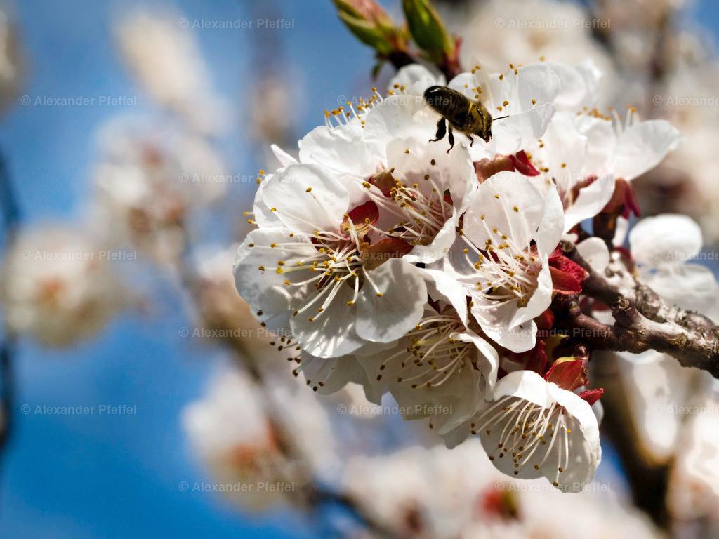 marillenbluete_insekt_(c)photography_pfeffel_at_ (3) | OLYMPUS DIGITAL CAMERA