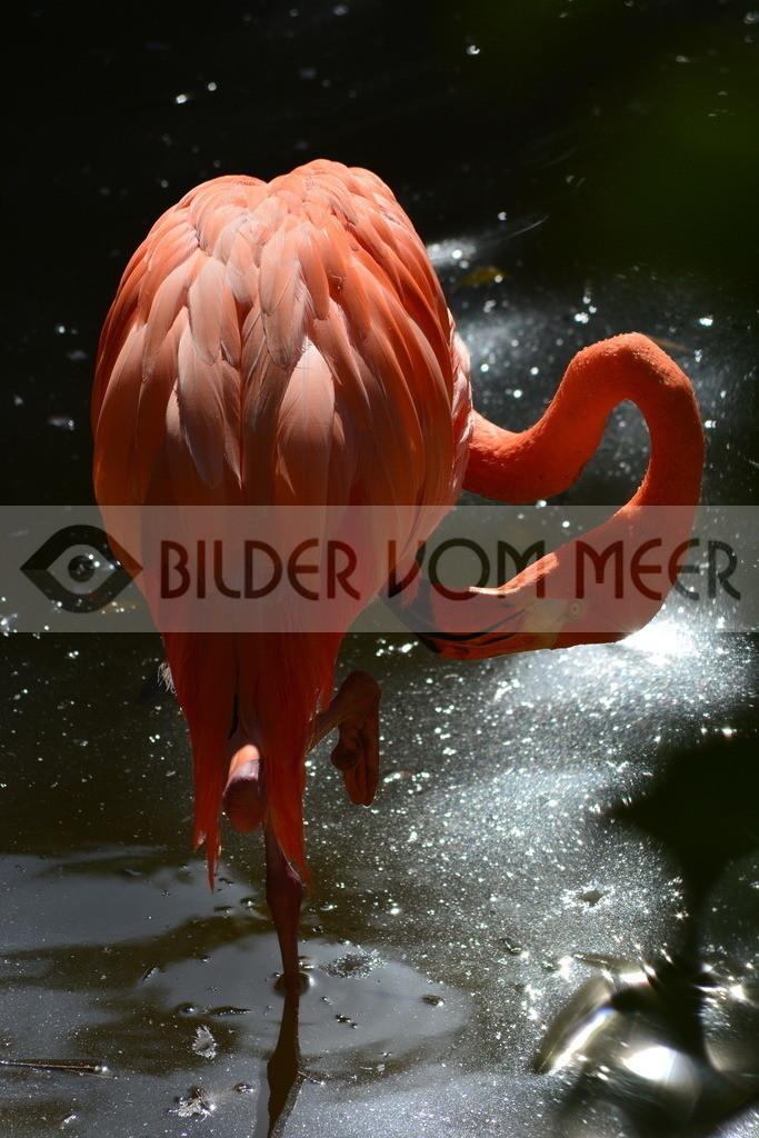 Fotoausstellung Meer Bilder | Roter Flamingo mit sich beschäftigt