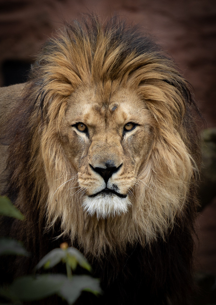 Lion Zoo 4