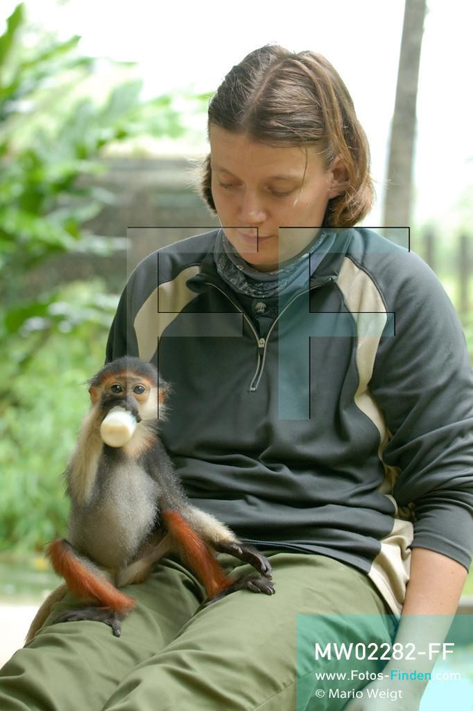 MW02282-FF | Vietnam | Provinz Ninh Binh | Reportage: Endangered Primate Rescue Center | Baby eines Rotgeschenkligen Kleideraffen trinkt Milch. Der Deutsche Tilo Nadler leitet das Rettungszentrum für gefährdete Primaten im Cuc-Phuong-Nationalpark.   ** Feindaten bitte anfragen bei Mario Weigt Photography, info@asia-stories.com **