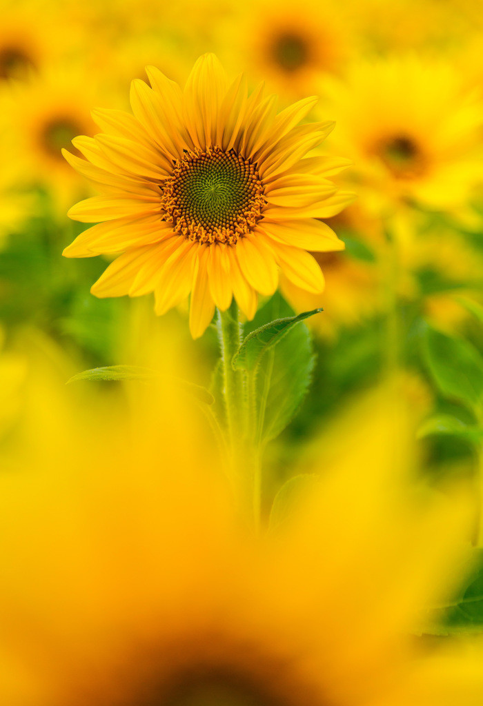 JT-161007-040   Sonnenblumen Feld, Sonnenblumen, Helianthus annuus,