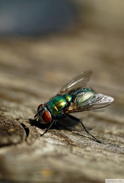 Grüne Fliege  | Grüne Fliege mit roten Augen auf einem Stück Holz