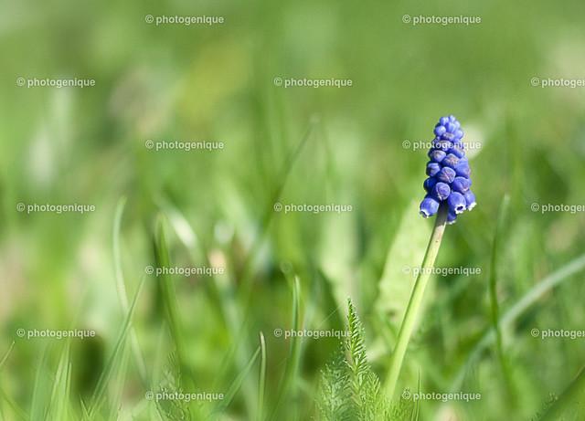 Traubenhyazinthe | einzelne Blüte einer Traubenhyazynthe bei Tageslicht vor einem grünen Hintergrund mit Fokus auf der Blüte