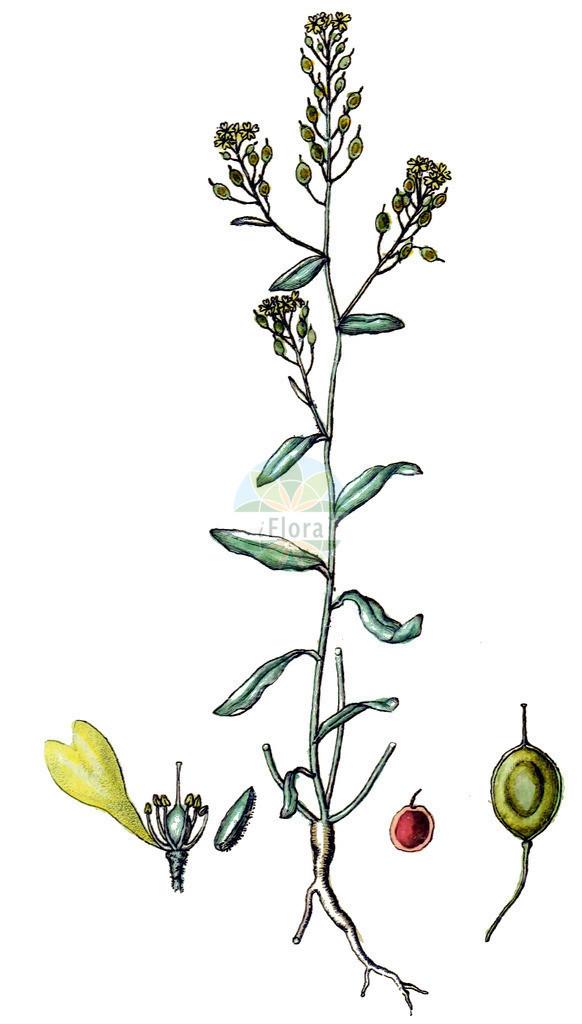 Aurinia petraea   Historische Abbildung von Aurinia petraea. Das Bild zeigt Blatt, Bluete, Frucht und Same. ---- Historical Drawing of Aurinia petraea.The image is showing leaf, flower, fruit and seed.