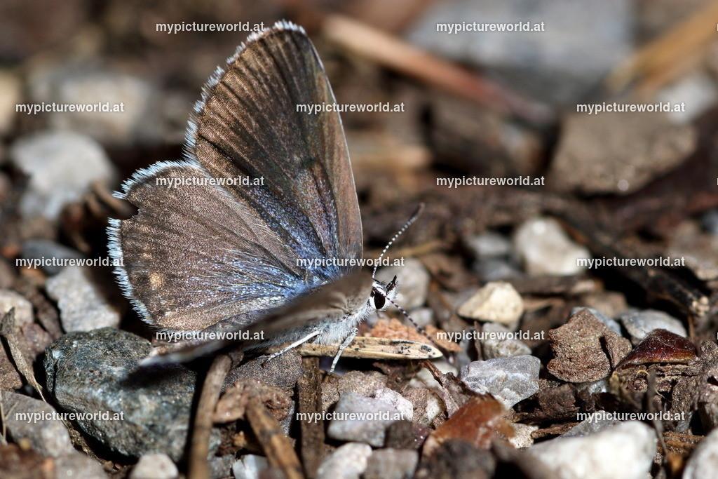 Pseudophilotes vicrama-005