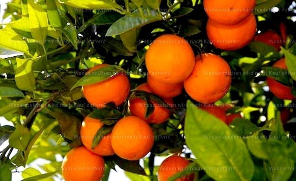 Marokkanische Pflanzen | Marokkanische Orangen