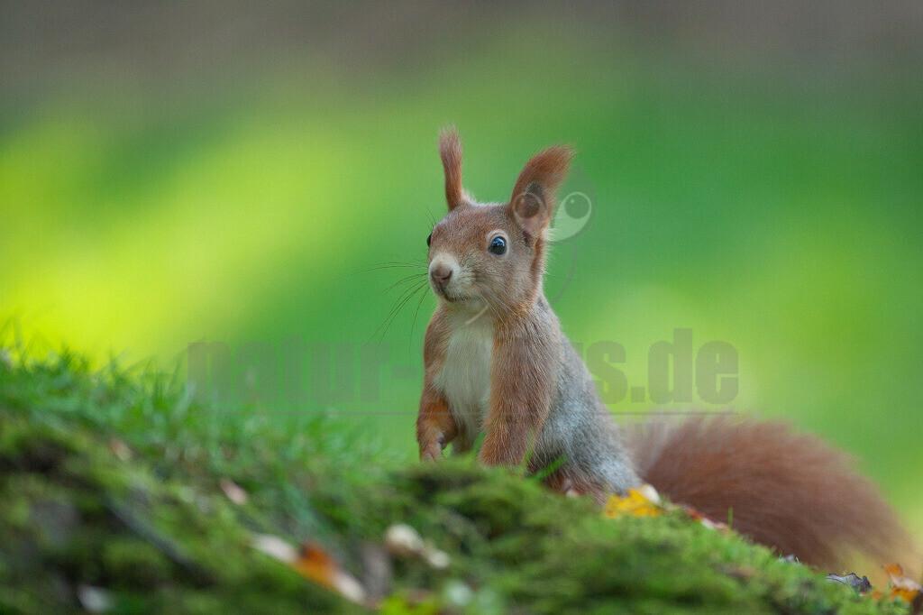 20081020163542 | Das Eurasische Eichhörnchen, häufig nur als Eichhörnchen bekannt, ist ein Nagetier aus der Familie der Hörnchen. Es ist der einzige natürlich in Mitteleuropa vorkommende Vertreter aus der Gattung der Eichhörnchen und wird zur Unterscheidung von anderen Arten wie dem Kaukasischen Eichhörnchen und dem in Europa eingebürgerten Grauhörnchen auch als Europäisches Eichhörnchen bezeichnet.
