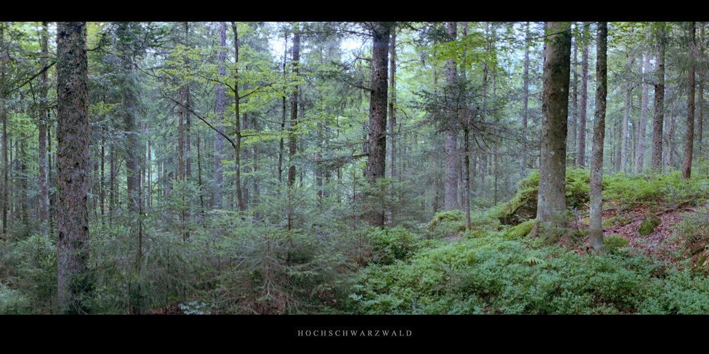 Hochschwarzwald   Fichten und Tannen im Bannwald im Hochschwarzwald, gelegen im Südschwarzwald