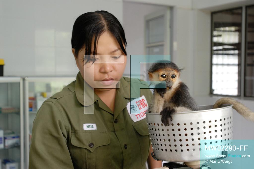 MW02290-FF | Vietnam | Provinz Ninh Binh | Reportage: Endangered Primate Rescue Center | Das Affenbaby (Rotgeschenkliger Kleideraffe) wird einmal am Tag gewogen. Der Deutsche Tilo Nadler leitet das Rettungszentrum für gefährdete Primaten im Cuc-Phuong-Nationalpark.   ** Feindaten bitte anfragen bei Mario Weigt Photography, info@asia-stories.com **