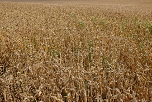 Weizenfeld | Weizenfeld wie ein Teppich aus Weizenähren.