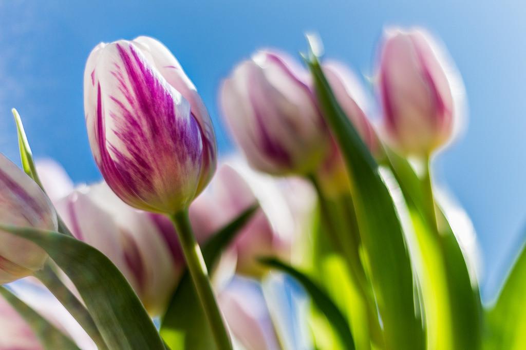 Frühlingsstrauß Tulpen